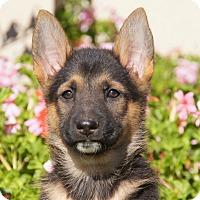 Adopt A Pet :: Merry von Tia - Thousand Oaks, CA