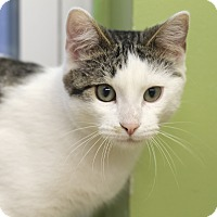 Adopt A Pet :: Peter Marshmallow - Chicago, IL