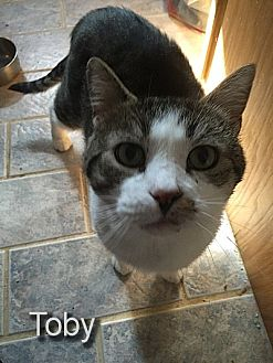 Domestic Shorthair Cat for adoption in East Stroudsburg, Pennsylvania - Toby II