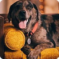 Adopt A Pet :: Artemus - Portland, OR