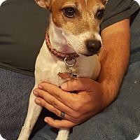 Adopt A Pet :: Maci In Dallas, Texas - Austin, TX