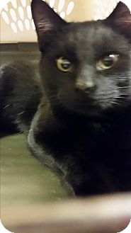 Domestic Shorthair Cat for adoption in Joplin, Missouri - Auggie Cc 108628