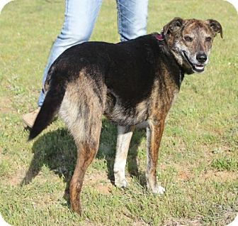 Greyhound/German Shepherd Dog Mix Dog for adoption in Fort Worth, Texas - Princess