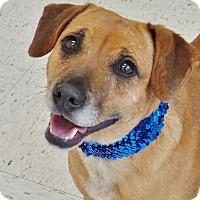Adopt A Pet :: Lily - Chambersburg, PA