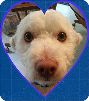 Bichon Frise Mix Dog for adoption in Tulsa, Oklahoma - Adopted!!Moose - OH