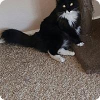 Adopt A Pet :: Boots - Glendale, AZ
