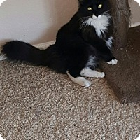 Domestic Mediumhair Cat for adoption in Glendale, Arizona - Boots