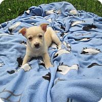 Adopt A Pet :: Duchess Honey - West Warwick, RI