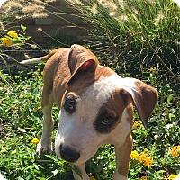 Adopt A Pet :: BOWZER - Moosup, CT