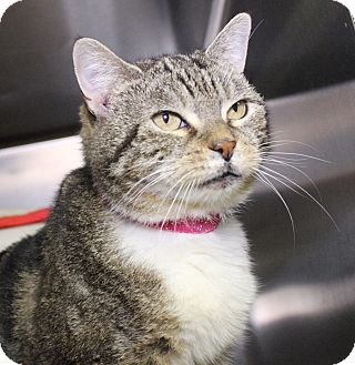 Domestic Shorthair Cat for adoption in Middletown, Connecticut - Bugsy