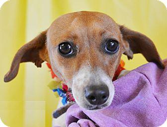 Chihuahua/Dachshund Mix Dog for adoption in Littlerock, California - Reesie