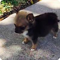 Adopt A Pet :: Dexter - Mesquite, TX