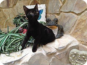 Sphynx Kitten for adoption in Sarasota, Florida - Puck