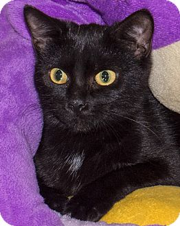 Domestic Shorthair Cat for adoption in Elmwood Park, New Jersey - Anya