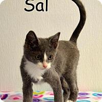 Adopt A Pet :: Sal - DuQuoin, IL