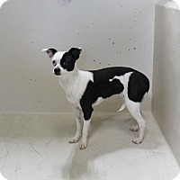 Adopt A Pet :: A11 Paisley - Odessa, TX