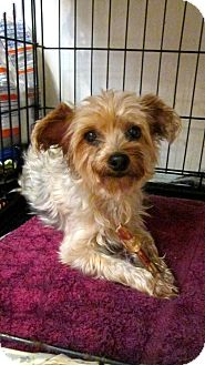 Silky Terrier Dog for adoption in Bloomington, Indiana - Fiona