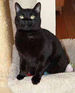 Domestic Shorthair Cat for adoption in Encinitas, California - Bella