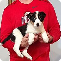 Adopt A Pet :: Lola - Gahanna, OH