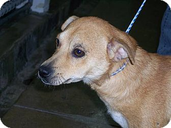 Chihuahua/Australian Cattle Dog Mix Dog for adoption in Germantown, Maryland - Wilson