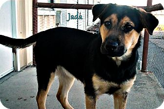 German Shepherd Dog Mix Puppy for adoption in Greeneville, Tennessee - Jada