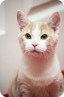 Domestic Shorthair Cat for adoption in Chicago, Illinois - Austin