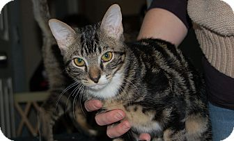 Domestic Shorthair Kitten for adoption in Chandler, Arizona - Indy