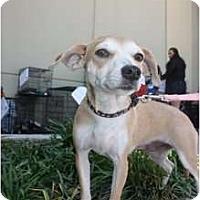 Adopt A Pet :: Noel - Arlington, TX