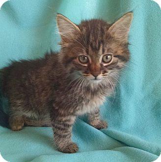 house cat mountain lion