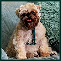 Brussels Griffon Dog for adoption in Mesa, Arizona - O'REILLY in Surprise, AZ.