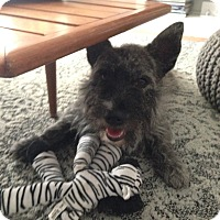 Adopt A Pet :: Smokey - Norwalk, CT