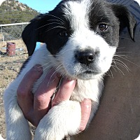 Adopt A Pet :: HOLIDAY PUPS C - Corona, CA