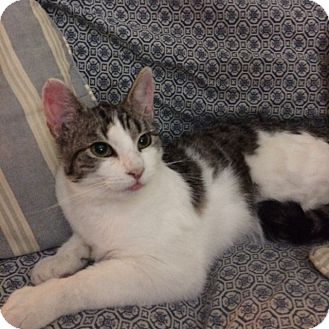 Domestic Shorthair Cat for adoption in Elmwood Park, New Jersey - Gina