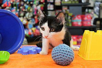 Domestic Shorthair Kitten for adoption in North Haledon, New Jersey - Frankie