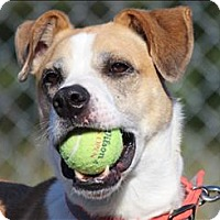 Labrador Retriever/Terrier (Unknown Type, Medium) Mix Dog for adoption in Duluth, Minnesota - Freddy (Buddy)