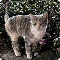 Calico Cat for adoption in Alhambra, California - Pastel