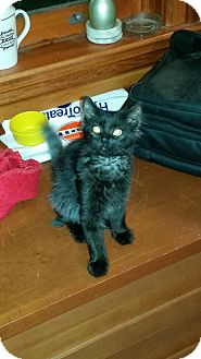 Domestic Longhair Kitten for adoption in Woodstock, Ontario - Synder