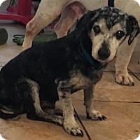 Dachshund Mix Dog for adoption in Von Ormy, Texas - Winter(CPR)
