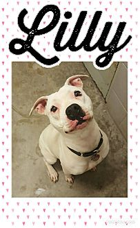 Pit Bull Terrier Mix Dog for adoption in Bryan, Ohio - Lilly