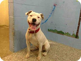 Pit Bull Terrier Mix Dog for adoption in San Bernardino, California - A499368