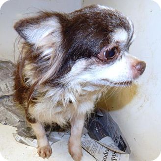 Chihuahua Dog for adoption in Anderson, South Carolina - TESSA