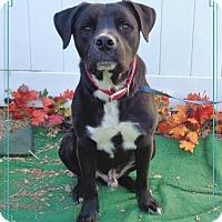 Adopt A Pet :: BRONX see video! - Marietta, GA