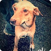 Adopt A Pet :: Tinsel - Billerica, MA