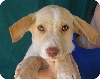 Golden Retriever/Labrador Retriever Mix Puppy for adoption in Oviedo, Florida - Mike