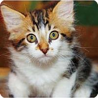 Adopt A Pet :: Olivia de Havilland - Scottsdale, AZ
