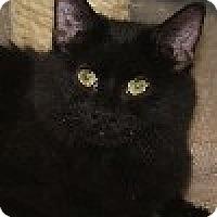 Domestic Mediumhair Cat for adoption in Savannah, Missouri - Candace