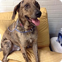 Adopt A Pet :: Astro - Charlemont, MA