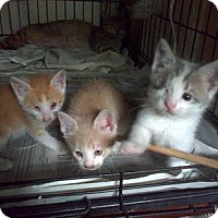 Domestic Shorthair Kitten for adoption in Queens, New York - Special needs kittens