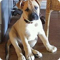 Adopt A Pet :: Blitz - Pierrefonds, QC