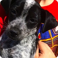 Adopt A Pet :: Bandit - Thousand Oaks, CA